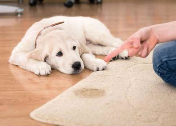 Top 5 Best Carpet Cleaner For Old Pet Urine